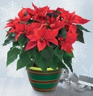 The FTD® Poinsettia Planter