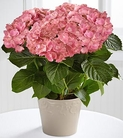 The FTD® Shades of Beauty Hydrangea