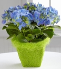 The FTD® Blue Skies Hydrangea Plant