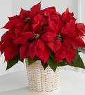 The FTD® Red Poinsettia Basket (Sm)