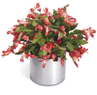 The FTD® Winter's Delight™ Holiday Cactus