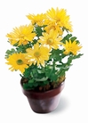 The FTD® Daisy Chrysanthemum (Small)