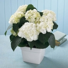 The FTD® White Hydrangea