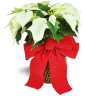 White Christmas Poinsettia
