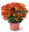 Blooming Chrysanthemum Plant