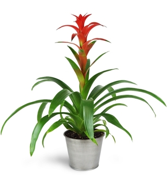 Hearty Bromeliad